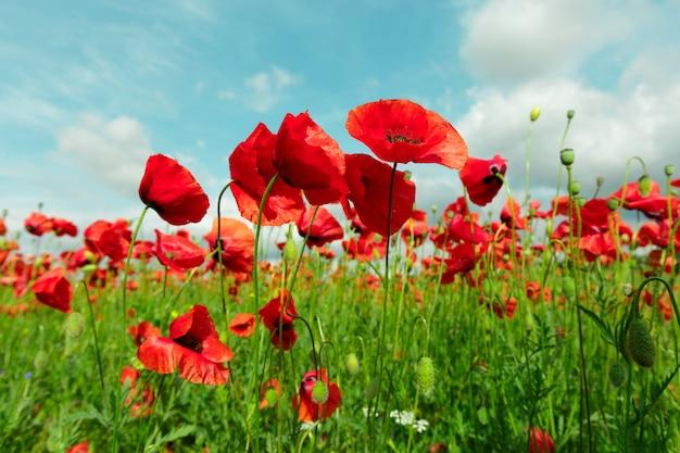 Красные цветы мака в поле