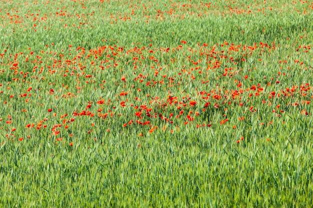 フィールドの赤いポピーの花