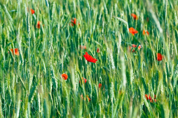 Red poppy flowers - photographed close-up of red poppy flowers growing in the field. summer