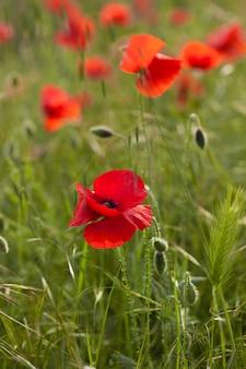 Red poppy in green field