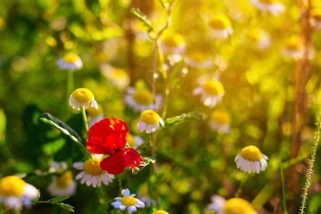 카모마일 필드에 빨간 양 귀 비, 여름 배경 화면 프리미엄 사진