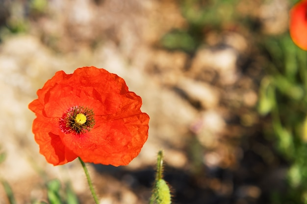 赤いケシは緑がぼやけています。花のボーダーと花の装飾、春のコンセプト、セレクティブフォーカス