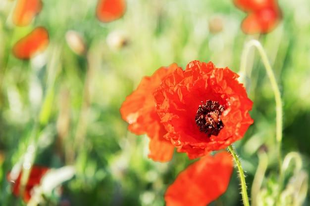 赤いケシは緑のぼやけた花の上にあります。花のボーダーと花の装飾、春のコンセプト