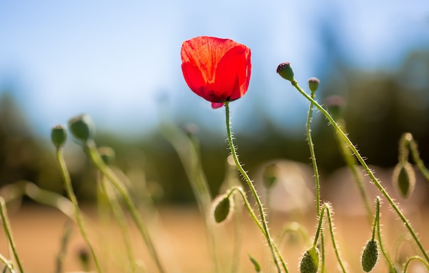 Red poppy in the middle of a field