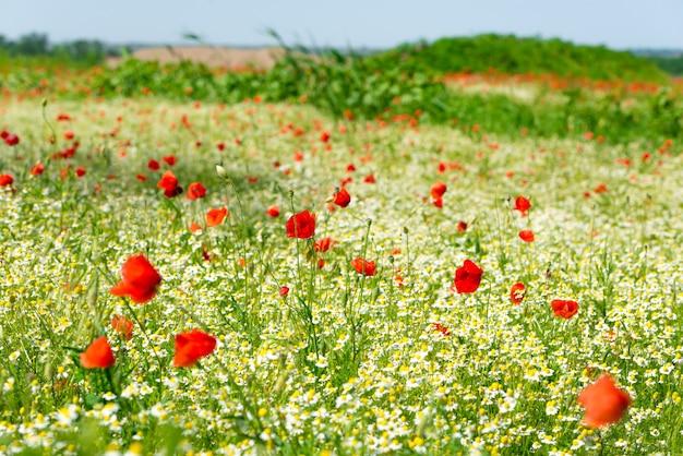 白いヒナギクまたはカモミールとヤグルマギクがたくさんある牧草地の赤いポピー。コピースペース、選択された焦点、狭い被写界深度。