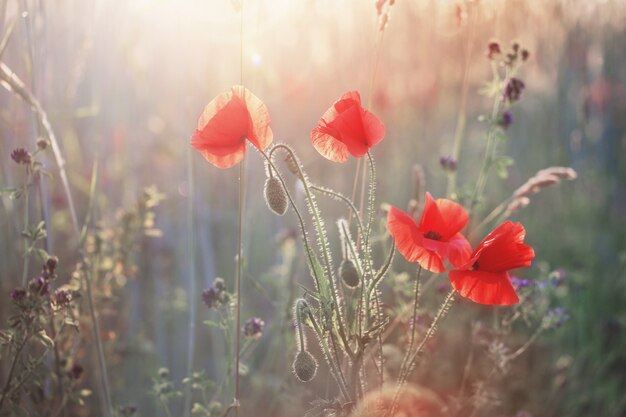 Red poppy on sunny field