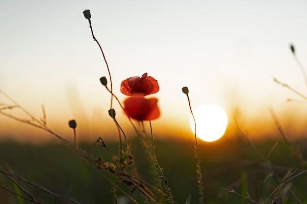 柔らかい夕日を背景にぼやけて赤いケシ