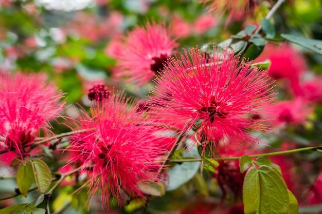 Красные пуховые цветы, дерево каллиандра haematocephala на открытом воздухе