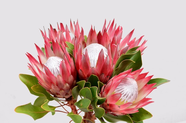 Red protea flower bunch  isolated  on a black  background