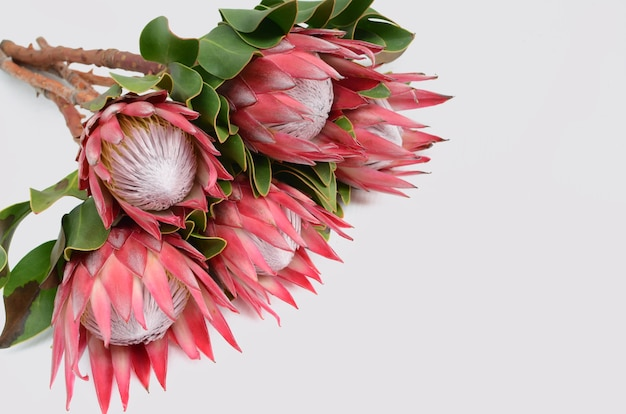Red protea flower bunch on a white isolated background. closeup. for design. nature.