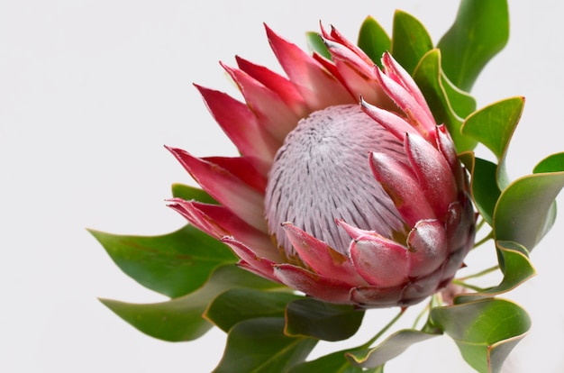 Red protea flower bunch on a white isolated background with clipping path. closeup. for de