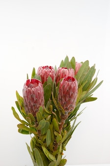 Red protea flower bunch on a white isolated background