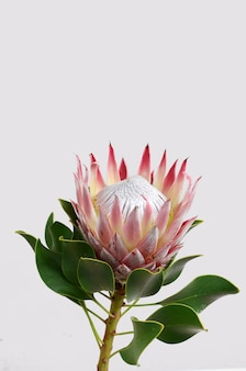 Red protea flower isolated on a white  background