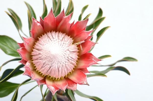 Красный протеа цветок на белом фоне