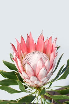 Red protea flower on white background