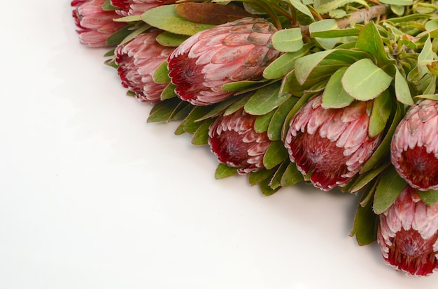 Red protea flower on a white isolated backgroud