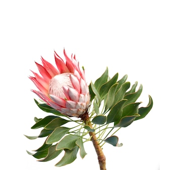 Red protea in white background
