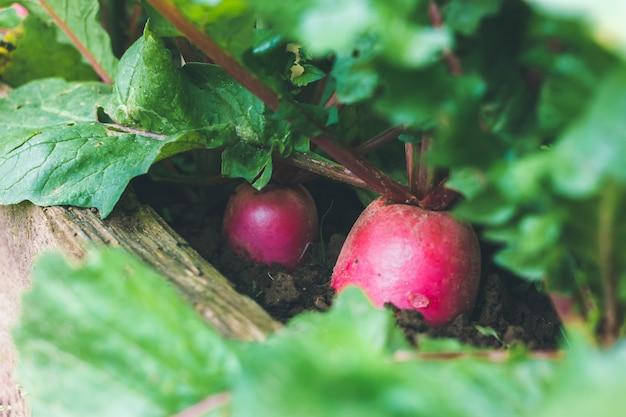 붉은 무는 정원에서 자랍니다. 큰 다양성. 나무 판자 또는 울타리가 있는 정원 침대