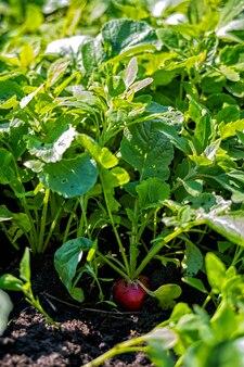 Красная редька в поле во время сбора урожая.