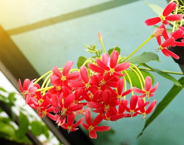 Red rangoon creeper or chinese honeysuckle flowers