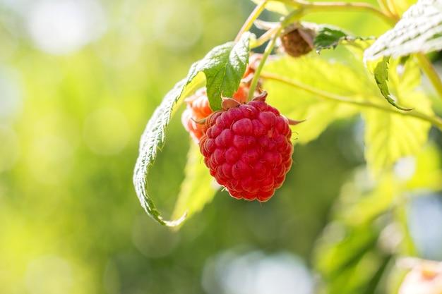晴天時の茂みに赤いラズベリーベリー_