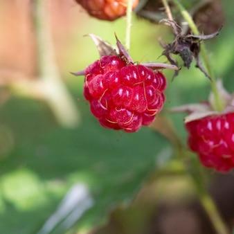 Красная малина rubus idaeus крупным планом, красные лесные ягоды
