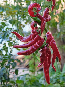 Red raw ripe hot chili peppers hanging on a rope