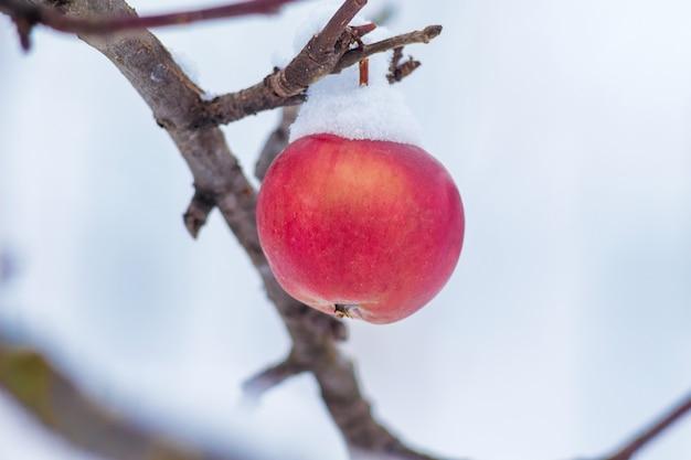 Красные спелые яблоки, покрытые снегом, на дереве в саду зимой_