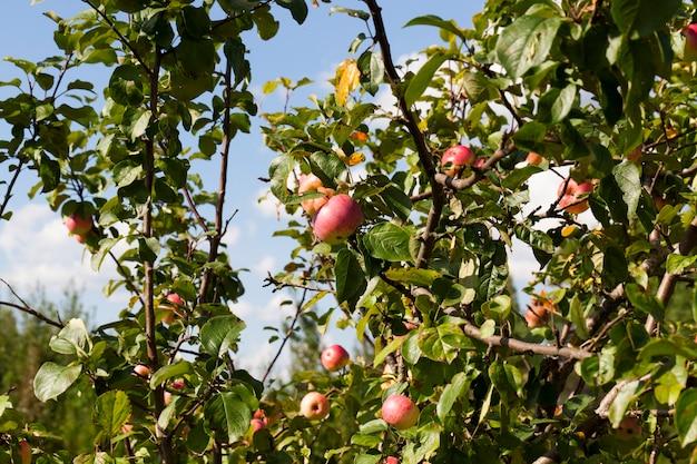 Красное спелое яблоко, висящее на ветвях яблони в осенний сезон
