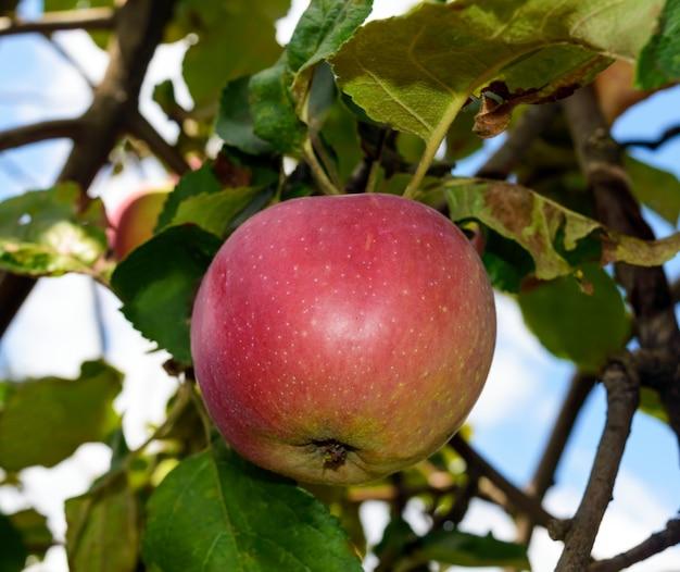 하늘에 대 한 나뭇 가지에 빨간색 잘 익은 사과. 확대.