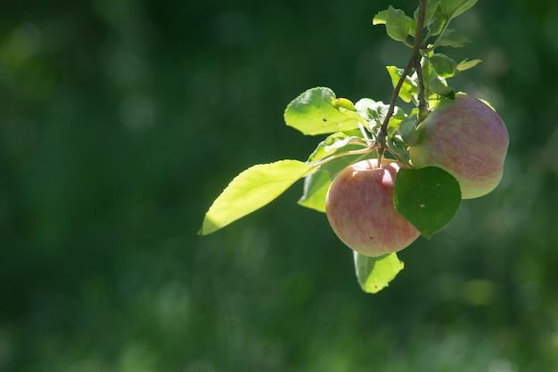 赤い熟したリンゴは、緑の葉の間の枝に生えています。