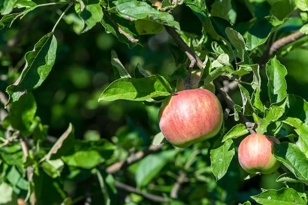 緑の葉の間の枝に赤い熟したリンゴが生えています Premium写真
