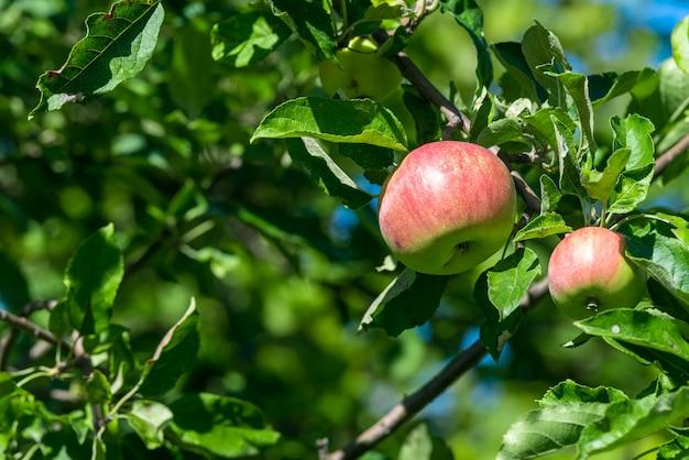緑の葉の間の枝に赤い熟したリンゴが生えています