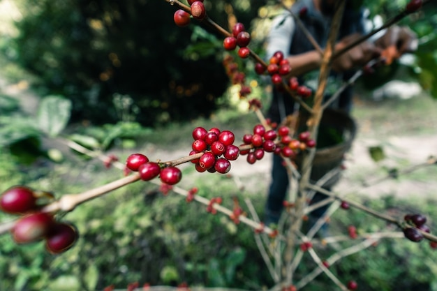 Red ripe arabica coffee under the canopy of trees in the forest,agriculture hand picking coffee