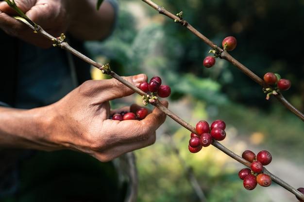 森の木々の林冠の下にある赤い熟したアラビカコーヒー、農業の手摘みコーヒー