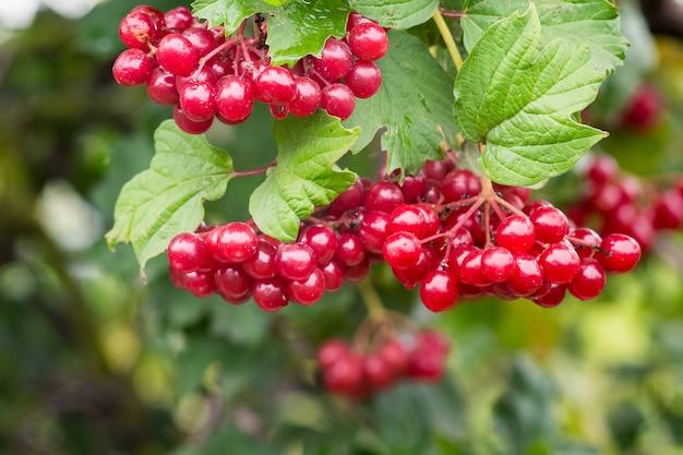 緑の葉の間でローズの熟したゲラーダーの赤い熟した果実