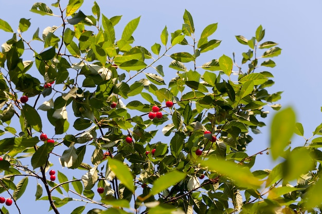 Red ripe cherry on the branches of a cherry fruit tree