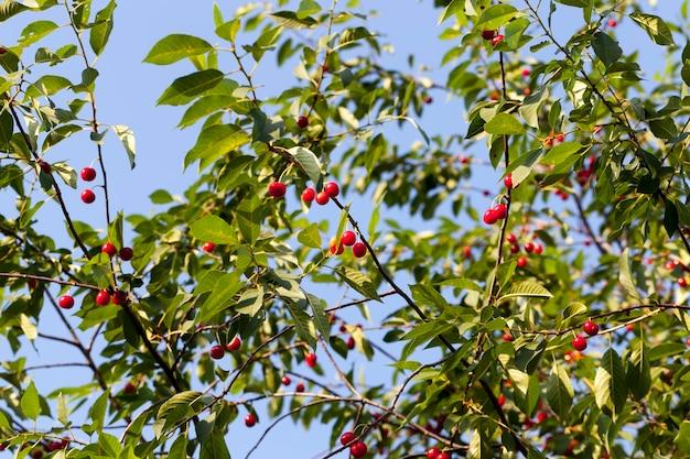 Красная спелая вишня на ветвях плодового дерева вишни