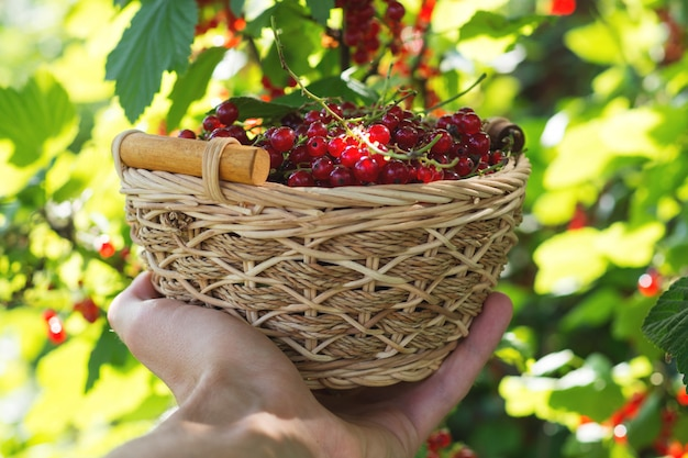 Red ripe currants in a wooden basket