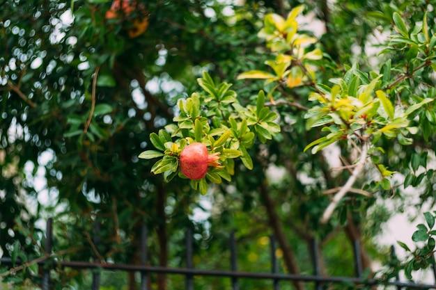 Красные спелые плоды граната на ветке дерева