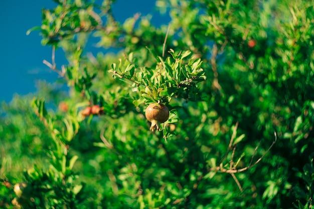 Красные спелые плоды на ветвях гранатового дерева