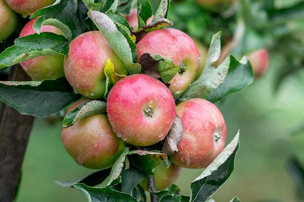 Красные спелые сочные яблоки на ветке дерева