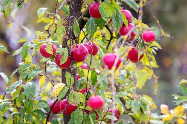 庭の木の上の赤い熟したジューシーなリンゴ