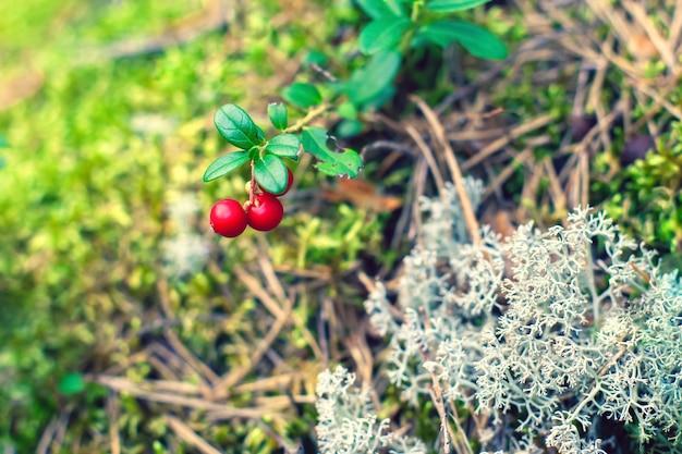 赤い熟したコケモモと白い苔