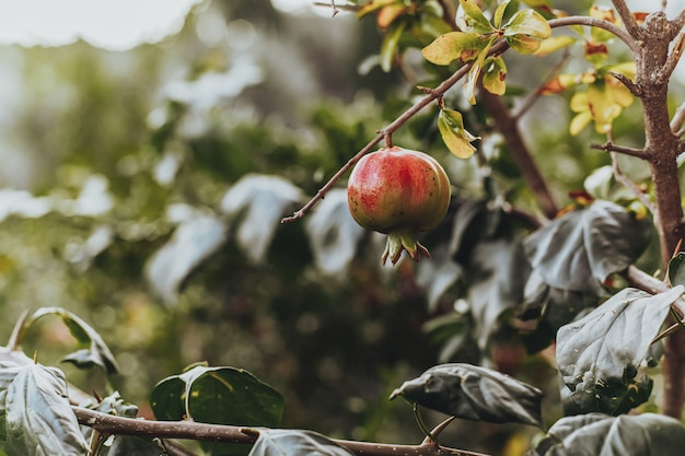 Red ripe pomegranate fruit on the tree in leaves