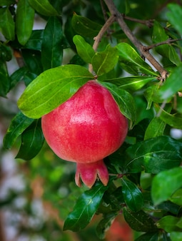 Red ripe pomegranate on the tree
