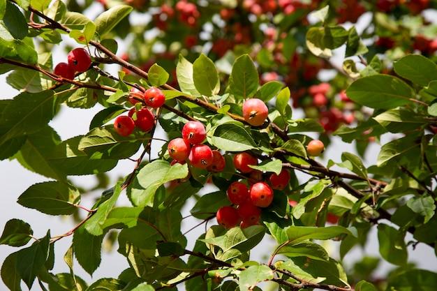 Красные спелые маленькие маленькие яблоки сычужного фермента на ветке яблони светятся на солнце. осенний урожай яблок на фоне зеленой листвы и голубого неба. концепция садоводства и здорового вегетарианского питания.