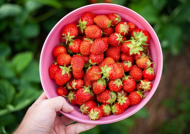 Красные спелые клубники лежат на открытой ладони женщины. концепция правильного питания, сельского хозяйства, натурального и здорового питания. выращено своими руками, без удобрений, без гмо