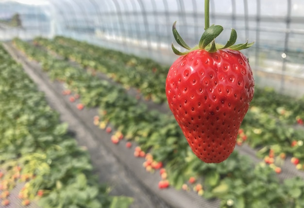 Red ripe strawberry from japnese organic agriculture farmland.