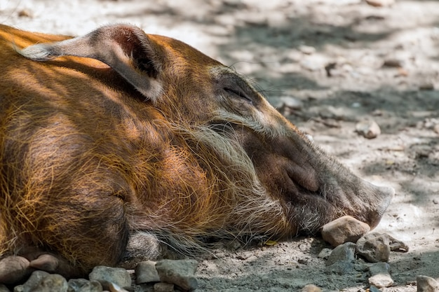Красный речной кабан (potamochoerus porcus) спит на земле